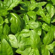Seminte Busuioc verde Genovese (100 gr) planta aromatica, Agrosem