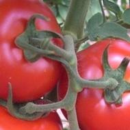 Amapola F1 - 1000 sem - Seminte de rosii ce produc fructe cu greutatea medie de 250-300 gr si prezinta o structura interna foarte buna ceea ce le face sa se vanda foarte bine la piata de la Sakata