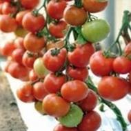 Arbason F1 - 500 sem - Seminte de rosii ce se preteaza cultivarii in spatii inchise cu crestere viguroasa ce ofera productii mari de fructe de culoare rosie de la Enza Zaden