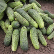 BERTA F1 seminte castraveti tip cornison timpurii (100 gr) hibrid de castraveti tip cornison, timpurii, Semo Cehia
