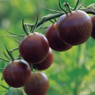 Black Cherry (100 seminte) rosii cherry negre soi nedeterminat timpuriu, Agrosem
