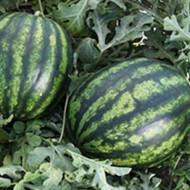 Bostana F1 (1000 seminte) pepene verde hibrid timpuriu de la Syngenta
