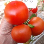 Buzau 47 – 5 gr – Seminte Tomate Romanesti Semitimpurii de la Topsem Cris