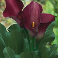 Cala Captain Reno (1 bulb), floare mare, culoare visiniu, bulbi de flori