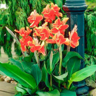 Canna Lucifer (1 bulb), floare exotica mare, culoare rosu cu galben, bulbi de flori