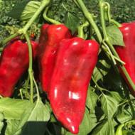 Capia UV (150 seminte) de ardei capia soi semi-timpuriu, fructe intre 15 - 18 cm, miez suculent,IZK Bulgaria