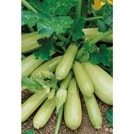Cavili F1 - 500 sem - Seminte de dovlecei culoare verde deschis cilindric timpuriu ce se cultiva in camp sau solar de la Nunhems