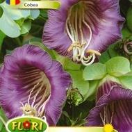 Cobea VIOLET - Seminte flori Cobea VIOLET de la Florian