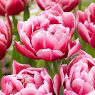Columbus (8 bulbi), lalele roz delicate, bulbi de flori