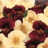 Condurul Doamnei Zi si Noapte (2 g), plante cu flori contrastante, colorate in galben-ivoriu si rosu-mahon, Papucul Doamnei, Opal