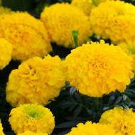 Craite pitice cu flori mari galbene (0.4 gr) seminte de craite pitice (Tagetes erecta nana)