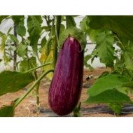 Dafne F1 - 500 sem - Seminte de vinete cu fruct oval-alungit lungime de 17-20 cm si greutate de 250-300 gr ce se caracterizeaza printr-un gust excelent de la Esasem