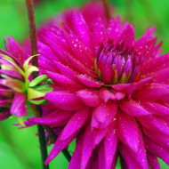 Dalie Ambition (1 bulb), floare culoare ciclam, tip cactus, bulbi de flori