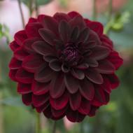 Dalie Arabian Night (1 bulb), flori rosu-inchis, intens, bulbi de flori