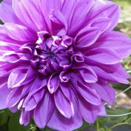 Dalie Blue Boy (1 bulb), bulbi de dalie cu floare mare, cu mai multe randuri de petale, intr-o nuanta superba de violet-liliachiu, bulbi de flori