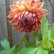 Dalie Ciaboss (1 bulb), floare culoare portocaliu, bulbi de flori
