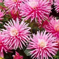Dalie Park Princess (1 bulb), bulbi de dalii cu flori deosebite, cu petale fine, roz pastel, tip cactus, bulbi de flori