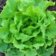 Deliane - 10 grame - Seminte de salata verde tip capatana cu perioada de productie toamna-iarna de la Clause