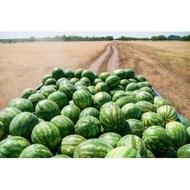 Dulce de Dabuleni - 500 g - Seminte de Pepene Verde Soi Romanesc Dulce de Dabuleni