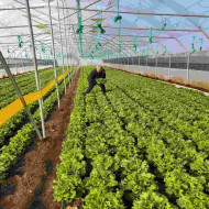 Fiyonk F1 (10.000 seminte) salata drajata deosebita, creata, timpurie. Yuksel