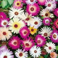 Floare de cristal mix (1 g), seminte de plante anuale cu flori in culori vii, asemanatoare margaretelor, Opal
