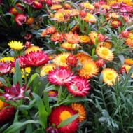 Flori de pai mix (0.4 grame) seminte de flori pentru uscare, Agrosem