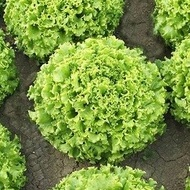 Fuzila - 5000 - Seminte drajate de salata creata de dimensiuni mari cu frunze late potrivita pentru cultura in camp fiind foarte apreciata de cultivatori avand aspect comercial foarte bun de la Enza Zaden