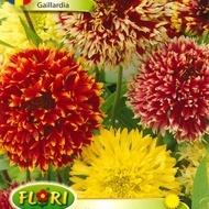 Gaillardia Pulchella - Seminte Flori Gaillardia Pulchella de la Florian