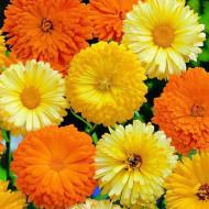 Galbenele Medicinale mix (1 kg), seminte de galbenele colorate in nuante de galben si portocaliu, medicinale si decorative, Agrosem