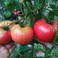 Giant Tree (40 seminte) rosii gigant, planta viguroasa tip copac, pulpa beefsteak, Garden Organic, Anglia
