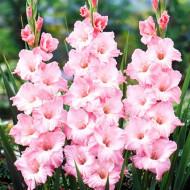 Gladiole Krasnodar (7 bulbi), culoare floare roz cu alb, bulbi de flori