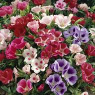 Godetia mix (1 g), seminte de flori anuale in culori pestrite, Opal