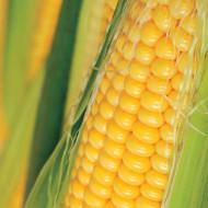 Golden Bantam (10 gr) seminte de porumb zaharat soi de calitate superioara, Agrosem