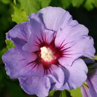Hibiscus, 3 butasi de hibiscus syriacus, arbusti cu flori mari, divers colorate, Yurta