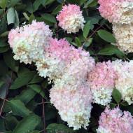 Hortensie Grandiflora, arbust ornamental cu flori grupate in buchete conice, albe, cu parfum delicat, Yurta