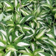 Hosta Night Before Christmas (ghiveci 1,5 L), planta decorativa cu frunze mari, culoare crem cu verde inchis