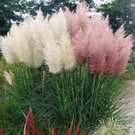 Iarba de Pampas (ghiveci 2 l), Cortaderia selloana Pumila, iarba ornamentala flori pufoase