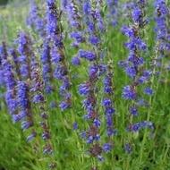 Isop - 0.2 gr - Seminte Plante Medicinale Isop de la Florian