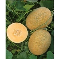 Kemer Orange F1 - 1000 sem - Seminte de pepene galben cu productivitate mare de la Yuksel