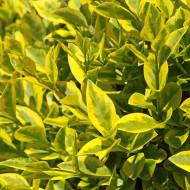 Ligustrum ovalifolium Aureum (ghiveci 1,5 l), lemn cainesc auriu