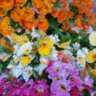 Macaleandru mix (0,2 g), seminte de planta anuala cu flori colorate in rosu, roz, galben, portocaliu, Agrosem