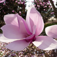 Magnolie soulangeana (ghiveci 2L), flori mari, forma de clopot, colorate in roz la exterior si albe la interior