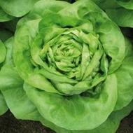 Medusa - 5 grame - Seminte de salata ce se preteaza pentru cultivare in perioade reci avand o capacitate de crestere excelenta chiar si in conditii de lumina scazuta cu capatana compacta si cu frunze de culoare verde intens de la Isi Sementi