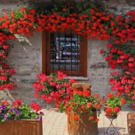 Muscata curgatoare F1 (3 seminte) flori rosii, inflorire continua, Agrosem