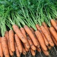 Narbonne F1 - 25.000 sem - Seminte de morcovi orange tip Nantes (calibru seminte < 2.0 mm) ideal pentru pastrarea indelungata cu radacina lunga si cilindrica si rezistenta buna la crapare de la Bejo