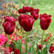 National Velvet (8 bulbi), lalele culoare rosu inchis, visiniu, bulbi de flori