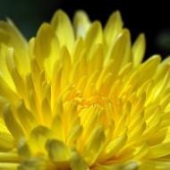 Ochiul boului galben Paeonia-Janina (0,4g), seminte de ochiul boului cu flori galbene, foarte atractive, Agrosem