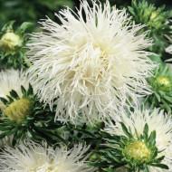 Ochiul boului Harz alb (0,4g), seminte de ochiul boului cu flori mari, albe, cu inflorire continua pana toamna, Agrosem