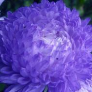 Ochiul boului Princess albastru (0,4g), seminte de ochiul boului cu flori mari, deosebit de frumoase, albastre, Agrosem