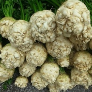 Otago - 10.000 sem - Seminte de telina de radacina cu un foliaj puternic bine dezvoltat si radacina tuberizata neteda alba ce isi pastreaza culoarea si dupa procesare de la Rijk Zwaan